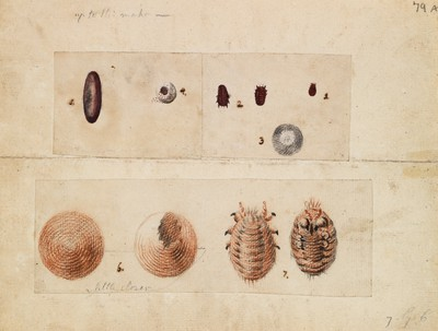 Polish cochineal insects