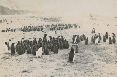 Colony of penguins & youth at Cape Adare