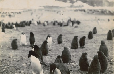 Adelie Penguins feeding young