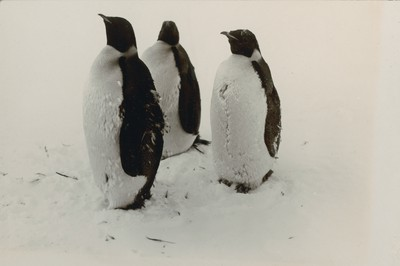 Emperor Penguins moulting