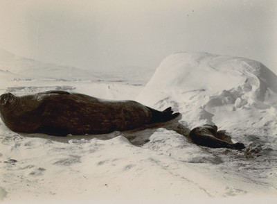 Weddell Seal with young