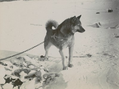Sledge dogs (1)