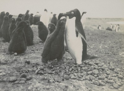 Penguins and young