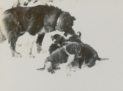 Sledge dogs and puppies (1)