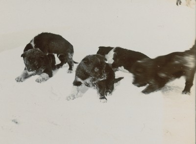 Sledge dogs and puppies (2)
