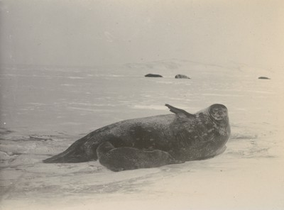 Weddell Seal suckling