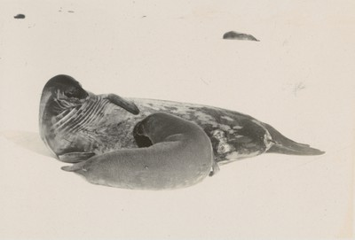 Views of seals in different positions (4)