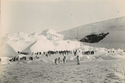 Emperor Penguin rookery. Commencement of the Great Barrier