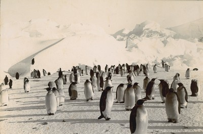 Penguin rookery