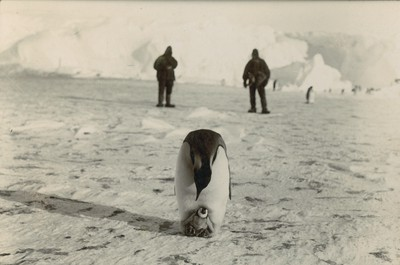 Emperor penguin with young in pouch
