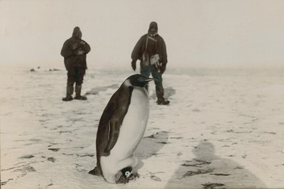Side view of above (Emperor penguin with young in pouch)