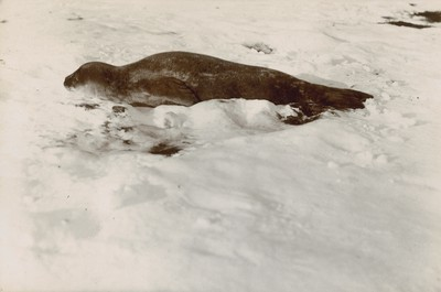 Young Weddell seal 4 or 5 days old, Razorback Island