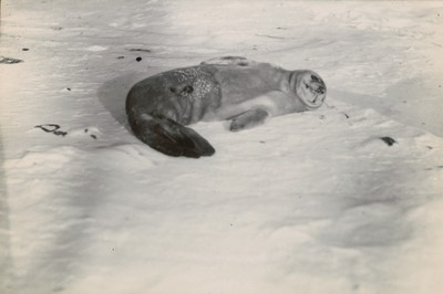 Young Weddell seal 2 o 3 days old