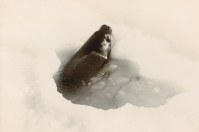 Cow Weddell Seal coming out from the hole, Seal Bay