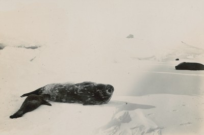 Weddell seal and calf near Pram Point