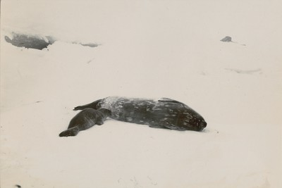 Ditto (Weddell seal and calf near Pram Point)
