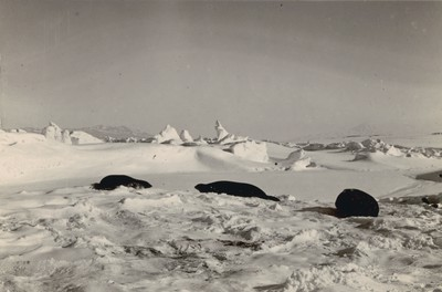Weddell Seals among hummocky ridges