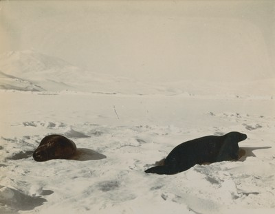 Weddell Seals looking towards Mt. Erebus, Seal Bay