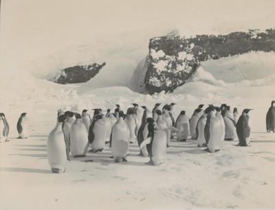Emperor Penguins, Cape Crosier rookery