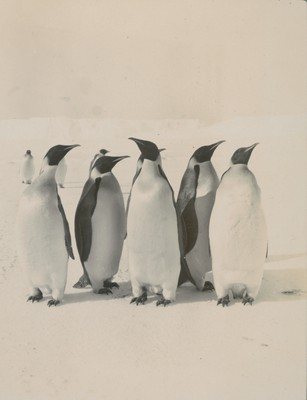 Emperor Penguins (1)