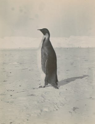 Emperor Penguins (2)