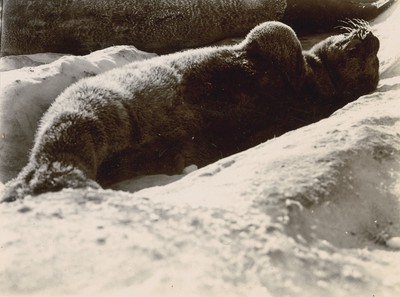 Young Weddell Seal one day old