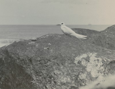 Tern with egg