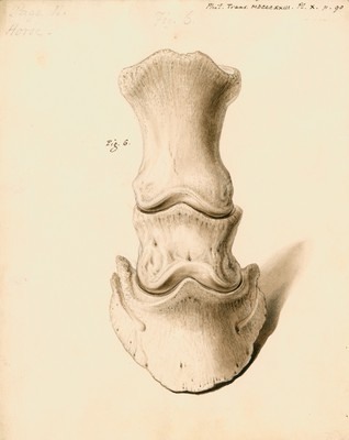 Fossil horse foot