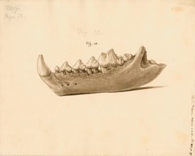 Fossil wolf jaw