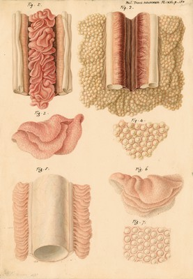 Ovaries and testes of the lamprey and conger eel