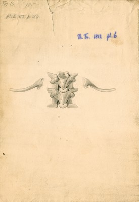 Vertebrae and ribs of a boa constrictor
