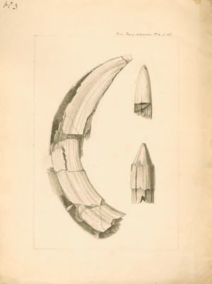Fossil hippopotamus tusk and tooth found near Brentford, artist unknown