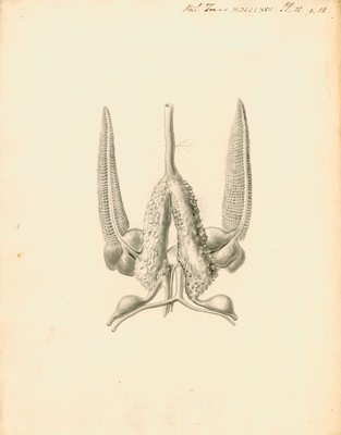 Heart and associated organs of the Sepia officinalis [Common cuttlefish], by [William Clift]