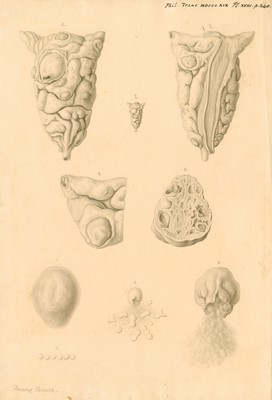 Ovaries of Ornithorhynchus paradoxicus [Platypus]