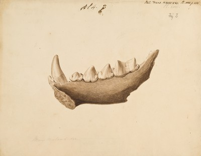 Fossil hyaena jaw