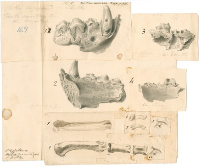 Fossil hyaena jaws and other bones