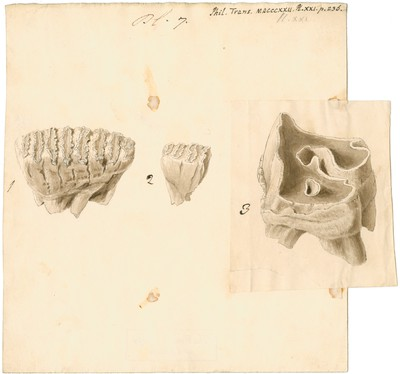 Fossil teeth of elephant and rhinoceros