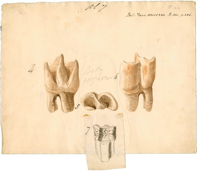 Fossil teeth of rhinoceros and horse