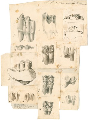 Fossil teeth of oxen, deer and elk
