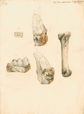 Fossil teeth and bones of boar