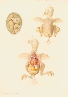 Chicken embryo