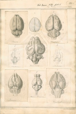 Structure of the Brain in Marsupial Animals, plate 5 (Beaver, Monkey, Wombat, Oppossum, Kangaroo, Ursine Dasyure)