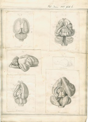 Structure of the Brain in Marsupial Animals, plate 6 (Beaver, Wombat, Kangaroo, Oppossum)