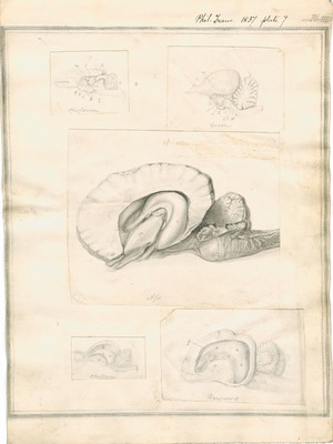 Structure of the Brain in Marsupial Animals, plate 7 (Goose, Oppossum, Kangaroo, Ass)