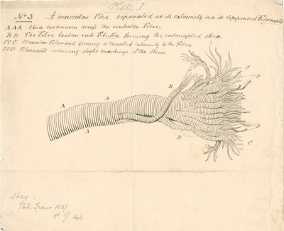 A muscular fibre separated at its extremity into its component Filaments