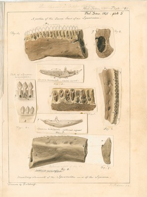 Maxillary elements of the Iguanodon and of the Iguana